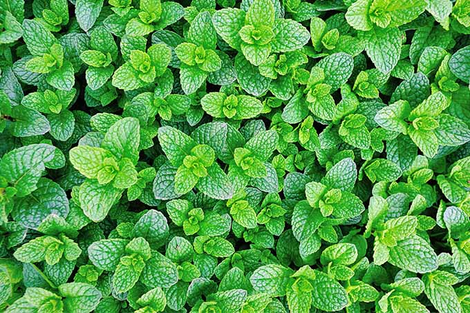 Top-down shot of green mint growing as ground cover.