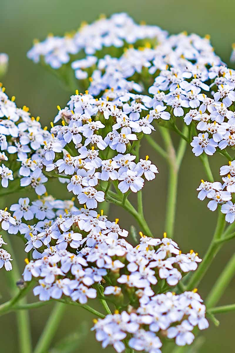 Pale blue yarrow flowers on long, narrow green stems, with a green background.
