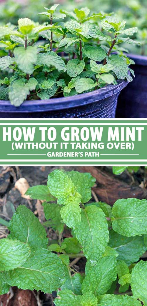 The smart Trick of Buy Mint Seeds That Nobody is Talking About