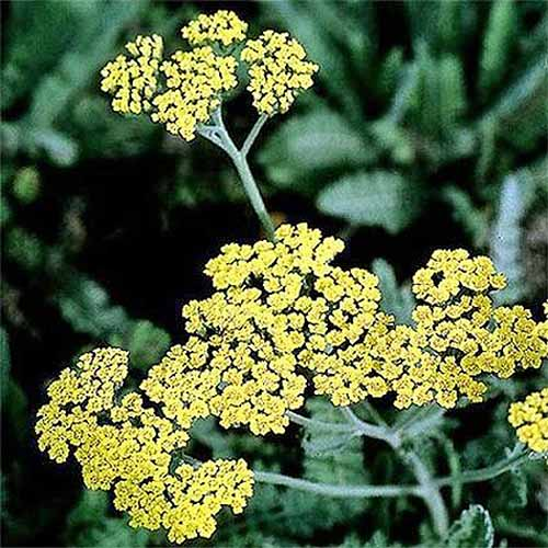 A close up square image of the delicate yellow flowers and dark green foliage of 'Moonshine' yarrow pictured on a soft focus background.