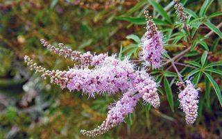 Not So Chaste: Attractive Vitex Is a Plant that Reproduces Liberally