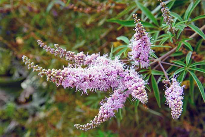 Six spikes of lilac-colored vitex flowers, on narrow stems with skinny green leaves beneath the blooms that come to a sharp point, with green and brown foliage in the background.