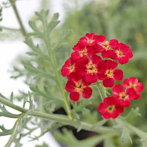 Closeup of tiny five-petaled red 'Paprika' yarrow flowers, with yellow center, growing on gray-green foliage.