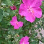 Pink five-petaled pavonia flowers, similar in appearance to hibiscus, with green leaves.
