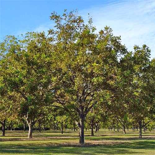 Square image of a grove of 'Candy' pecan trees with a green lawn and blue sky.