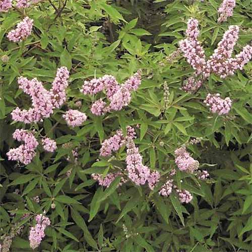 'Pink Pinnacle' vitex.