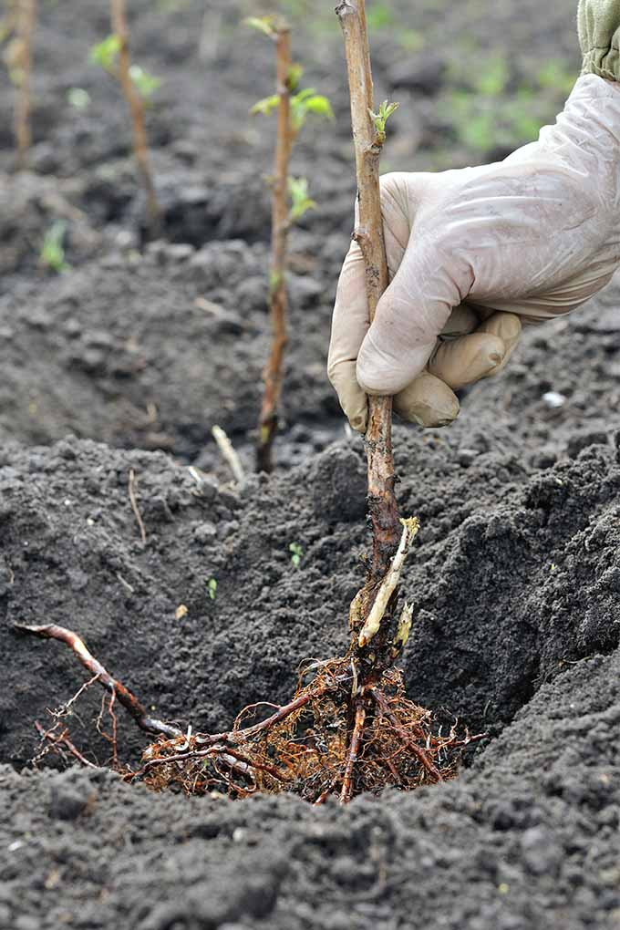 A white gloved hand plants bare root raspberry canes in holes dug in dark brown soil in the garden.