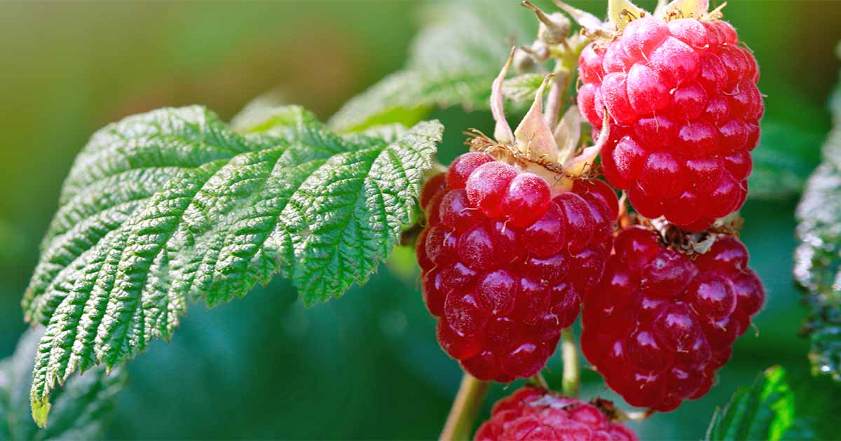 How to Grow Your Own Raspberries | Gardener's Path