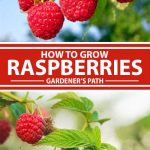 A collage of photos showing close ups of raspberries growing in a garden.