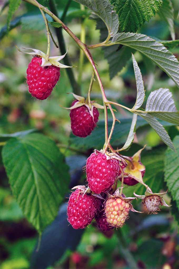 Four ripe, pinkish-red raspberries are hanging from thin, yellowish-green peduncles with sepals of the same color at the top of the berry, alongside a few immature and pale orange fruits, on a cane with green leaves.