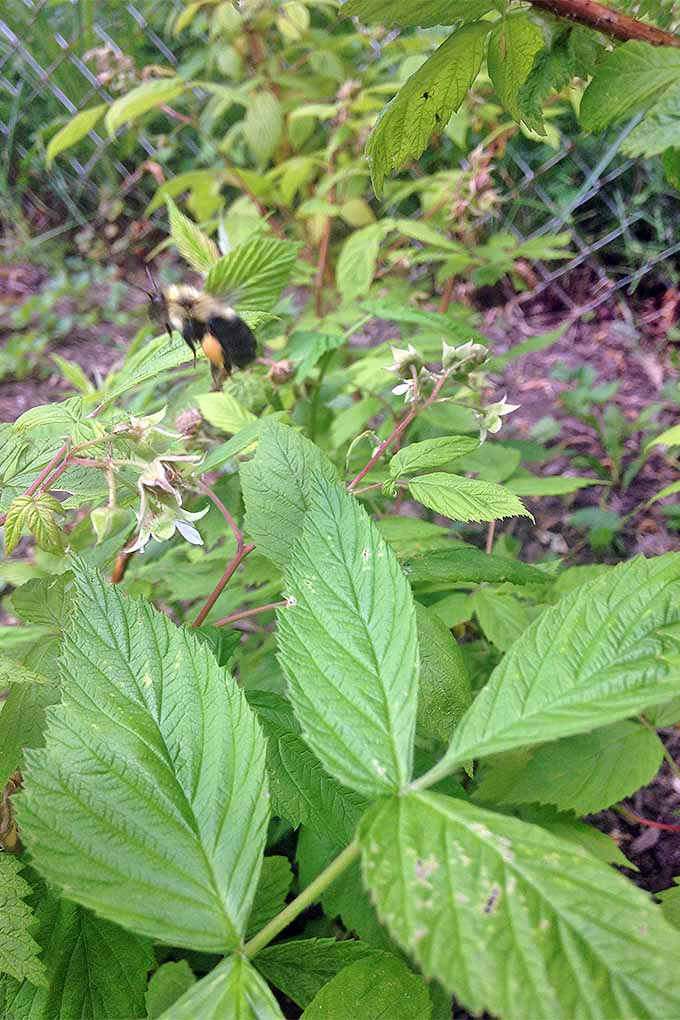A blurred bumblebee in motion flies past a green raspberry plant.