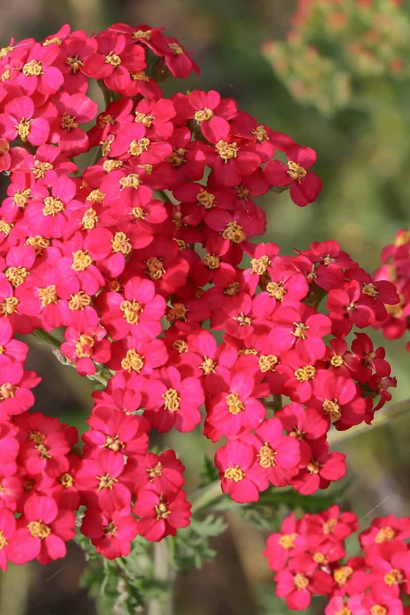 Closeup of red yarrow flowers with yellow centers.