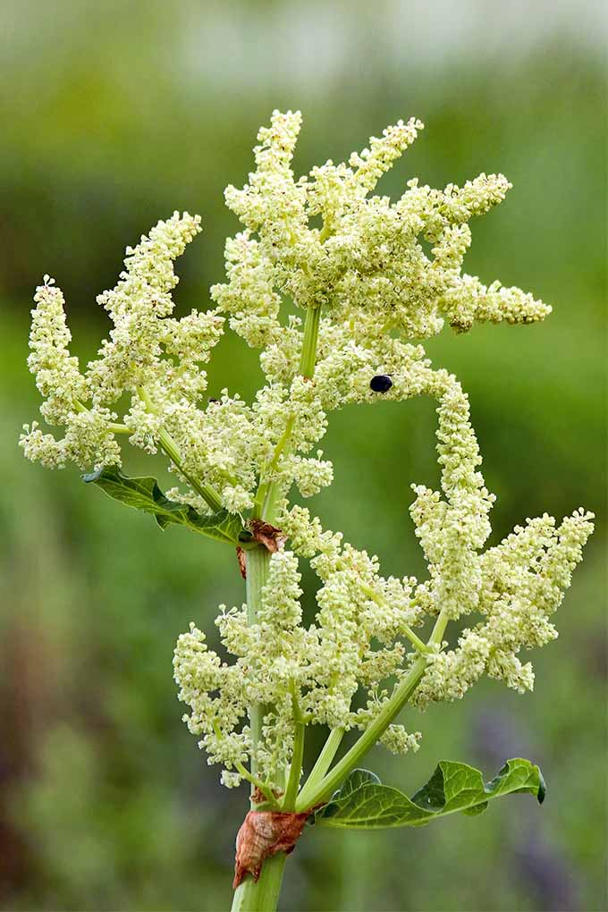 Rhubarb Flowers What To Do When Rhubarb Goes To Seed: How To Grow And Care For Rhubarb Plants