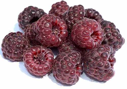 A handful of royalty raspberries are resting in a pile on a white surface. The fruit are purple colored throughout and shine in the bright lights. Some of the berries fade to a more maroon color.