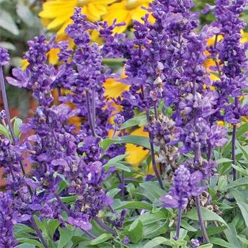 Closeup of purple 'Evolution' salvia, with yellow coreopsis in the background.