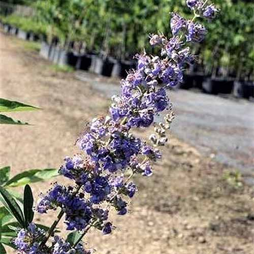 Closeup of the purple flower spike of 'Shoal Creek' vitex.