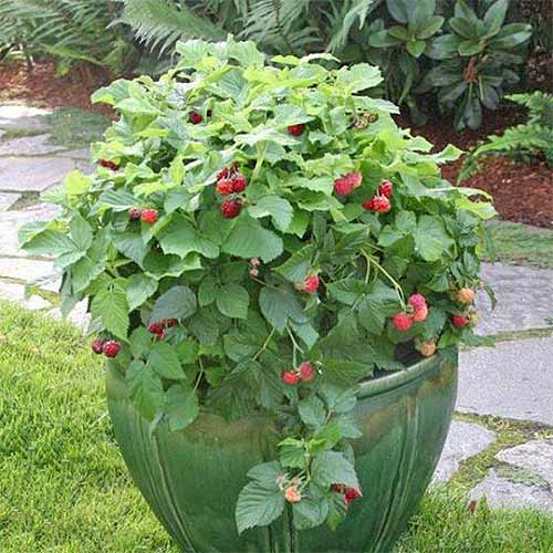 A shortcake raspberry plant, with a ripe harvest, is growing in a large green flower pot. The berries range from yellow to red. The container is sitting in nicely mowed grass with a stone sidewalk and a garden covered in mulch in the background.