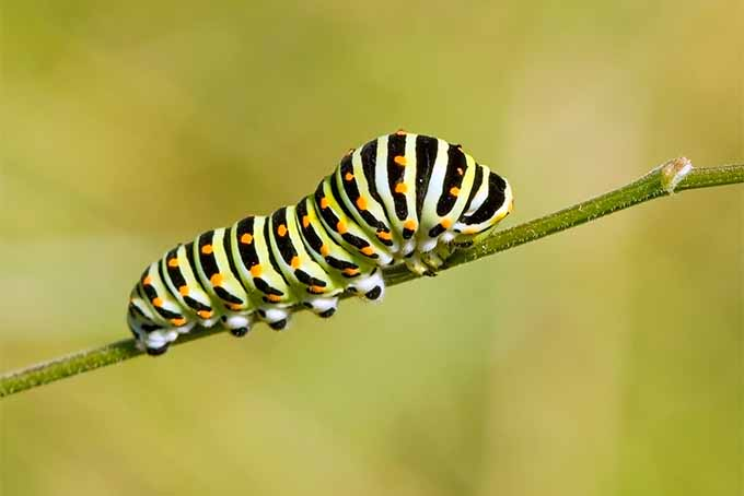 Closeup of a swallowtail butterfly larva, a caterpillar with black and yellow stripes and white spots, on a green plant stem, with a green and brown background.