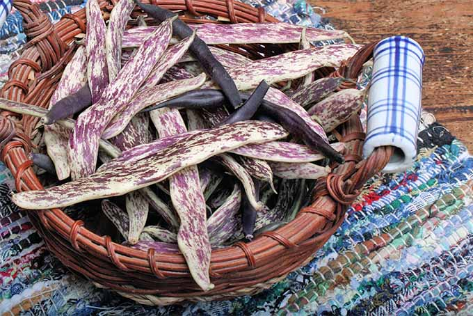 A brown woven basket full of white and purple rattlesnake beans and purple beans on top of a woven rag rug.