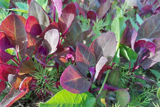 Purple orach leaves growing in sunshine.