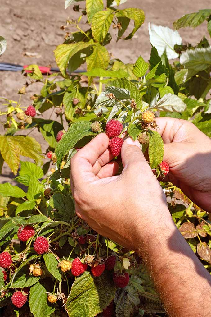 A man is reaching out towards a raspberry bush preparing to pick some of the bright red and ripe fruits. The plant is holding many of the berries ranging from green to yellow to a deep red. In the background is the tilled soil of a garden.