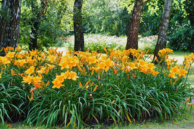 Yellow-orange daylilies with green grasslike foliage growing in large clumps in the garden, with trees in the background.