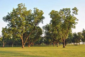 With a Bit of Patience, Here's How You Can Yield Masses of Pecans