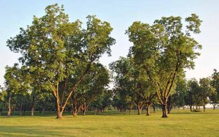 Two tall and many shorter pecan trees growing in a green lawn, in the late afternoon.