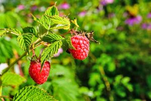 13 of the Best Raspberry Varieties to Grow in Your Garden (Zones 3-9)