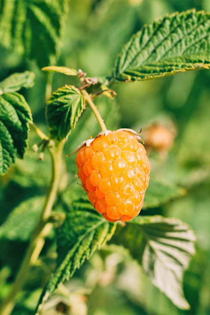 A closeup of a golden colored raspberry that is being held up by a yellow stem surrounded by green leaves with a rough looking texture. In the blurred background, more of the fruit grows amongst the green plants.