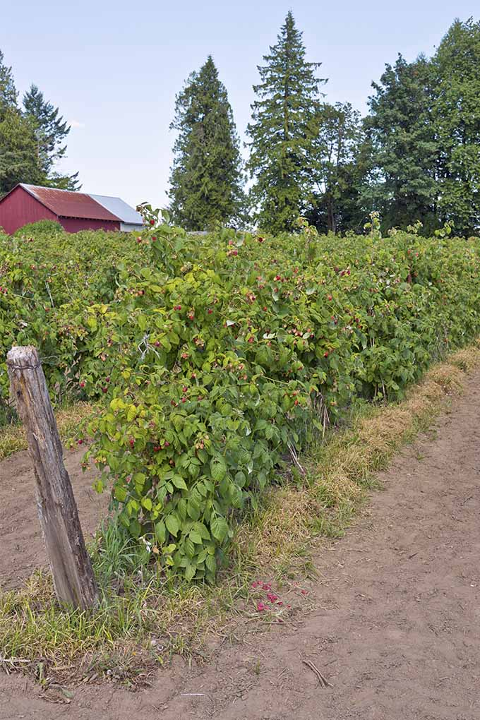 Two rows of trellised raspberries with dirt paths in between, growing on a farm will tall trees and a red shed in the background.