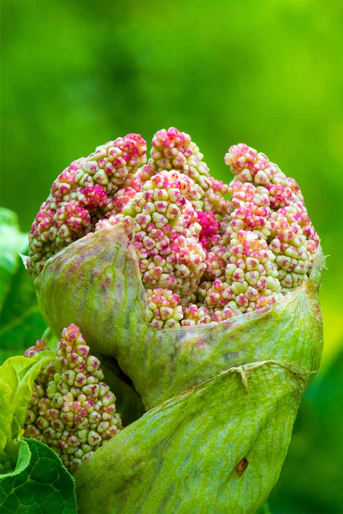 Closeup of a pink rhubarb bud just starting to open, with pink and white cauliflower-like flowers, against a green background.