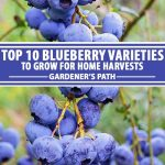 A collage of photos showing different photos of blueberry varieties.