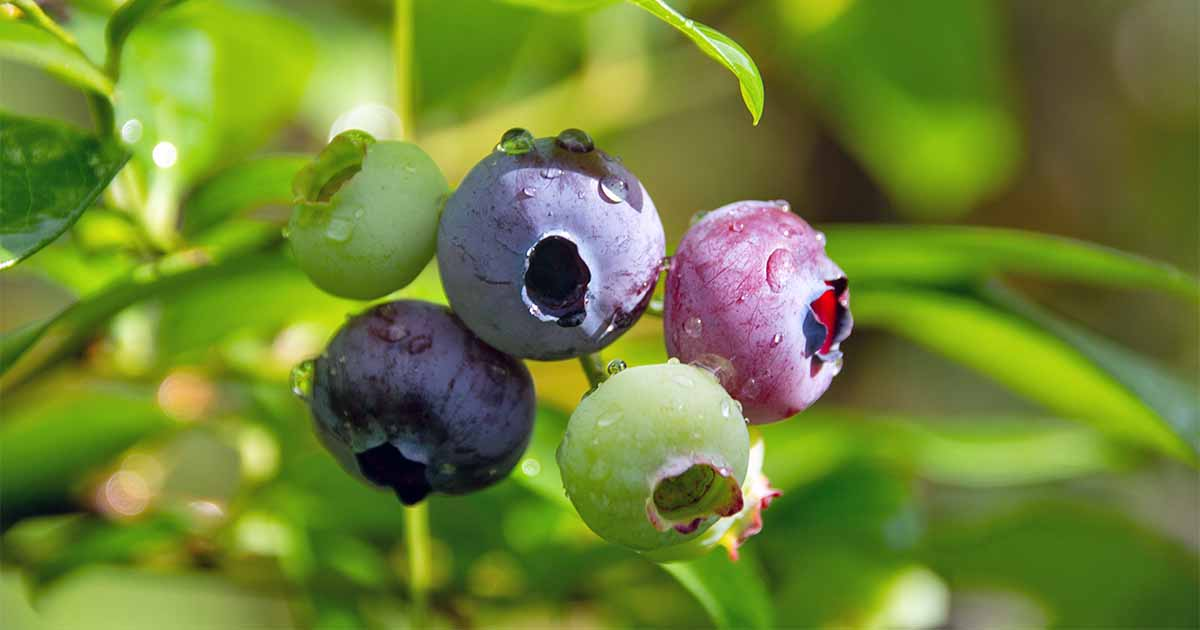 Top 10 Blueberry Varieties to Grow at Home | Gardener's Path