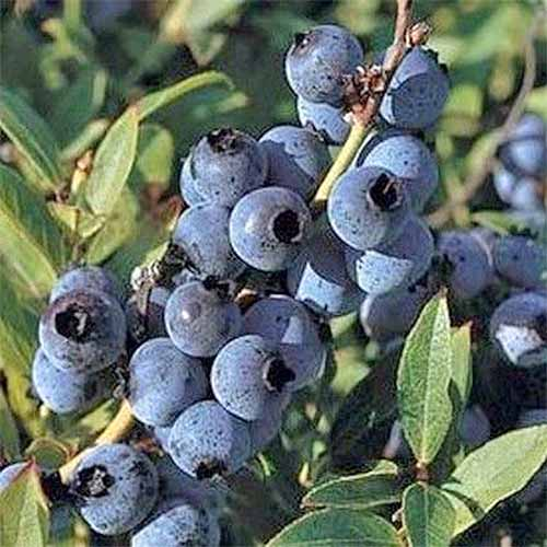 A cluster of many 'Top Hat' blueberries growing on a bush with green leaves in the sunshine.
