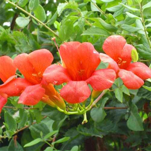 Closeup of red-orange four-petaled red trumpet creeper flowers, with green leaves growing on vines.