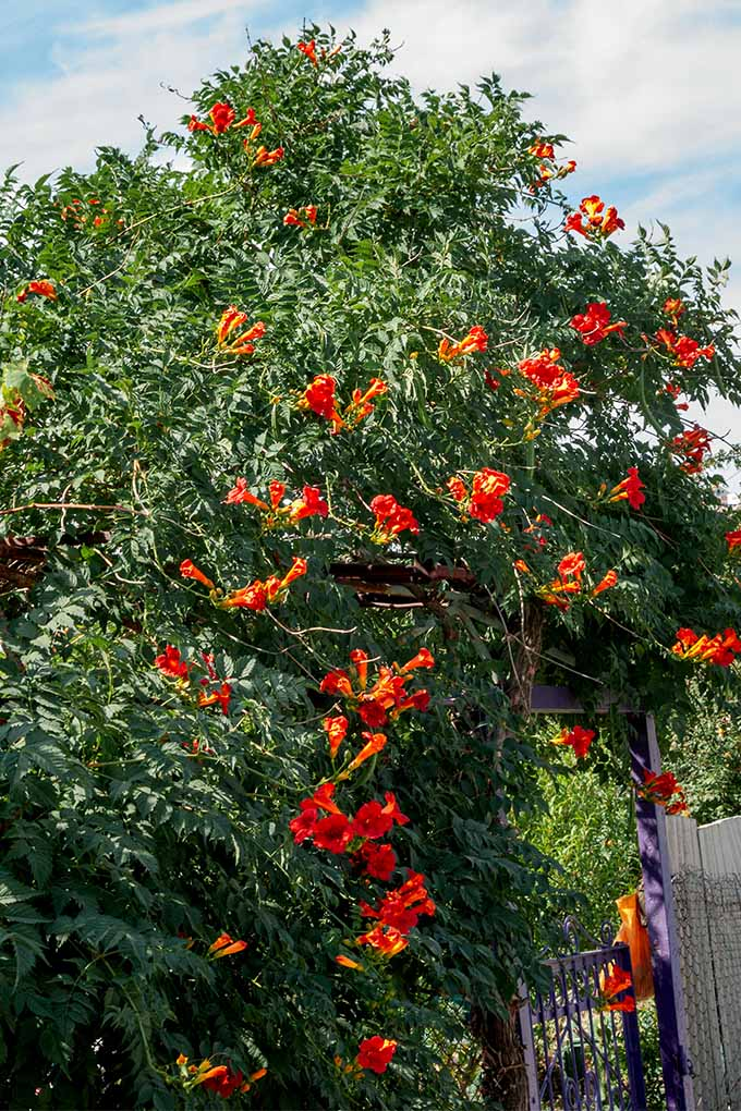 Vertical image of a large trumpet vine, with red and orange flowers, and dark green leaves, growing next to a white fence with a blue sky and white clouds in the background.