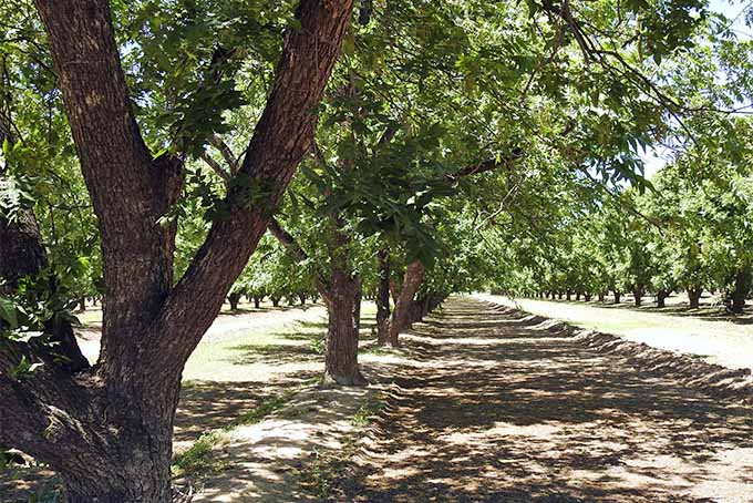 A grove of pecan trees creating dappled sunlight on brown soil.