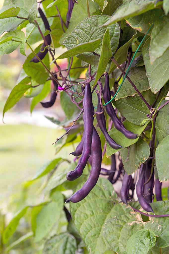 Vertical image of purple bean pods growing on a plant with green leaves.