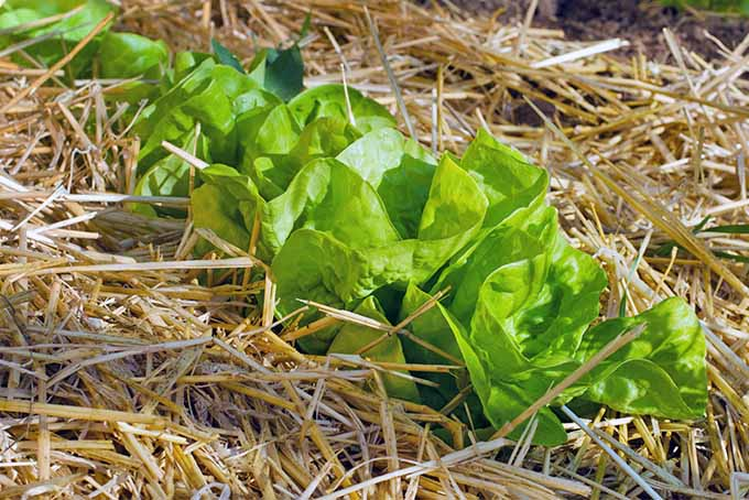 Immature light green head lettuce growing in hay mulch in dark brown soil.