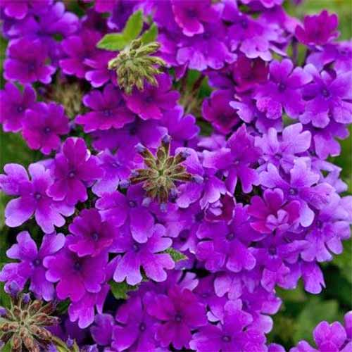 A close up square image of many small purple verbena 'Superbena Dark Blue' flowers.