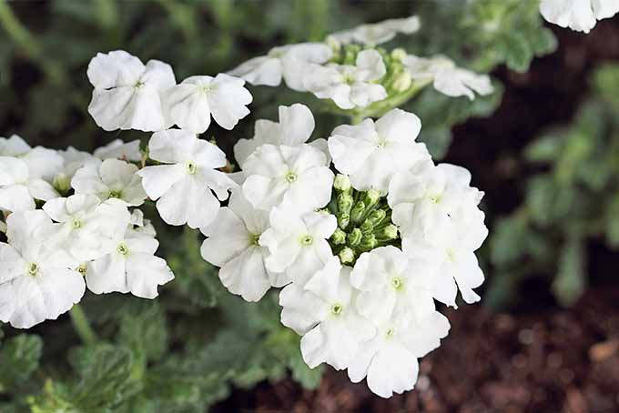 White garden verbena flowers growing in several clusters on a plant with green leaves, planted in brown soil topped with mulch.