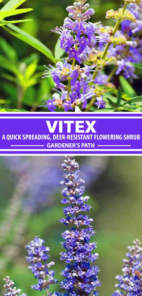 A collage of photos showing different types of Vitex flowering shrubs in bloom.