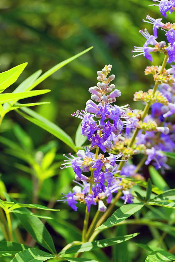 Purple flower spikes of Vitex agnus-castus with skinny light green leaves.