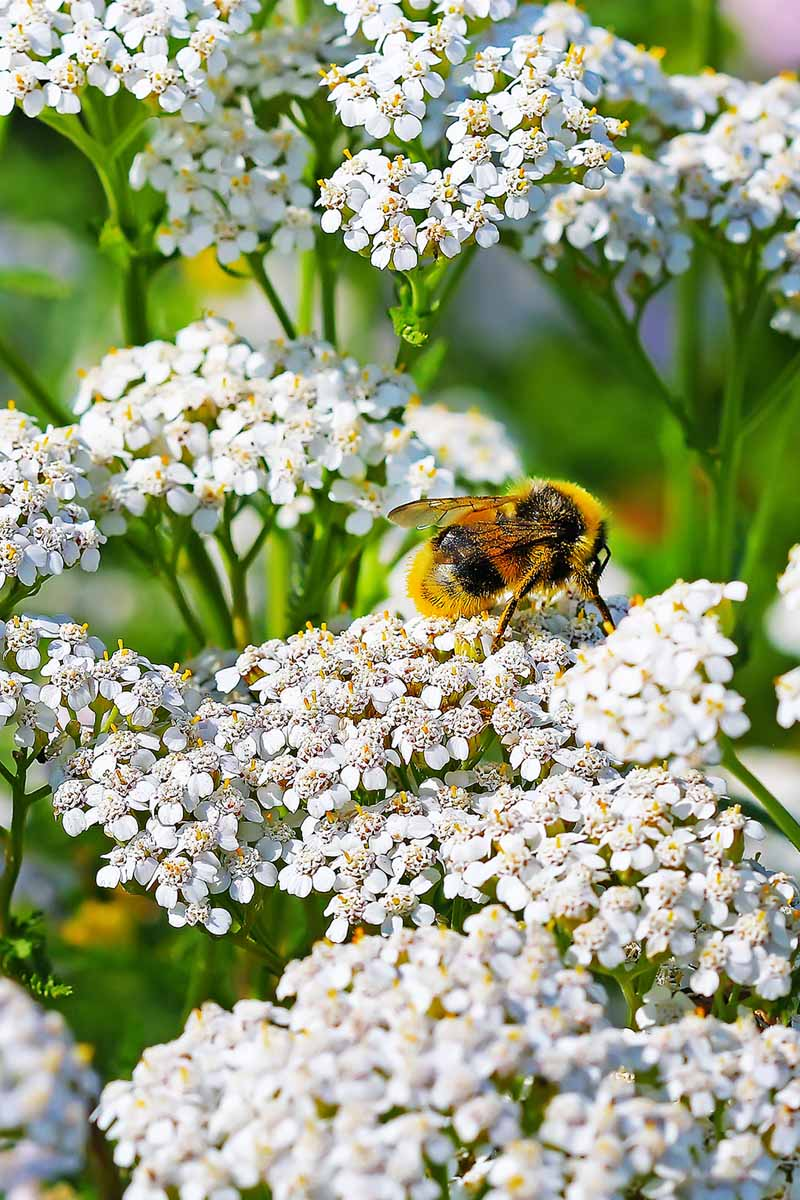 A large black and yellow bee pollinates a white achillea flower.