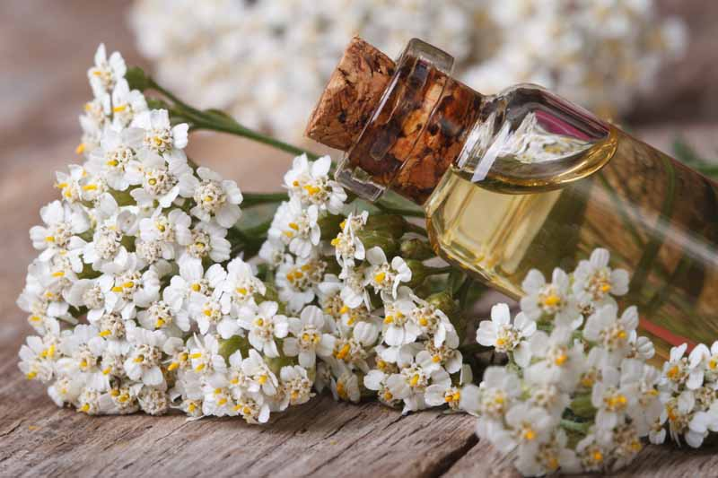 White yarrow flowers with a small glass bottle of a straw-colored liquid that's plugged with a cork resting on top, on a wood surface.