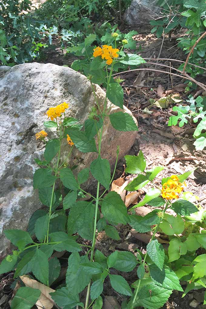 Vertical image of yellow lantana flowers, with clusters of blooms at the top of long stems with green leaves, growing in brown soil with a large gray rock.
