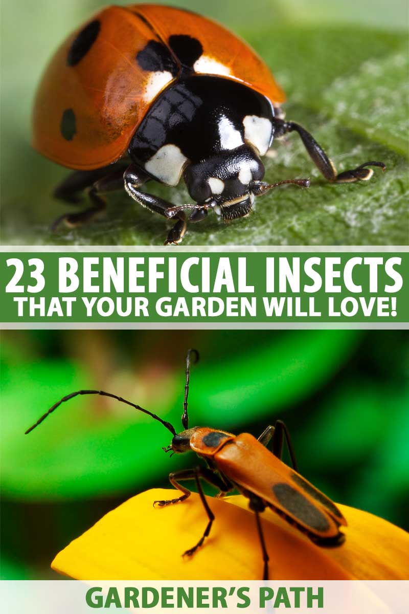 Two macro shots of beneficial insects as a collage including a ladybug and an assassin bug.