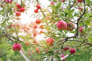 19 Apple Tree Varieties That'll Knock Your Socks Off
