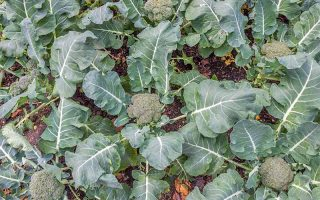 Top-down shot of small green heads of broccoli growing on plants with large green leaves.